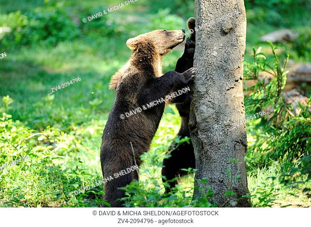 Close-up of a brown bear (Ursus arctos) youngster beside a tree in the Bavarian Forest, Germany
