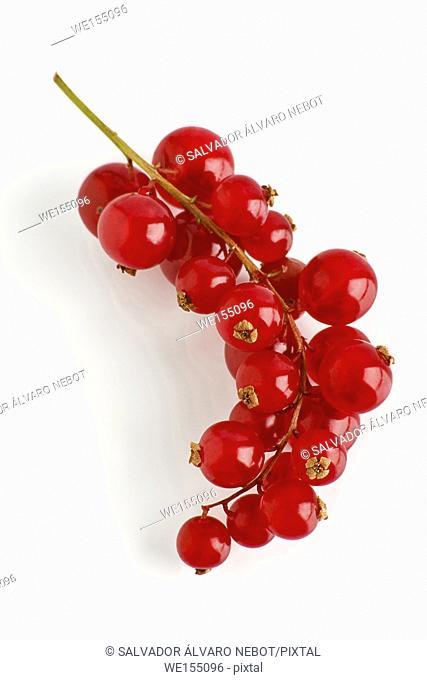 Cranberry, genus Vaccinium