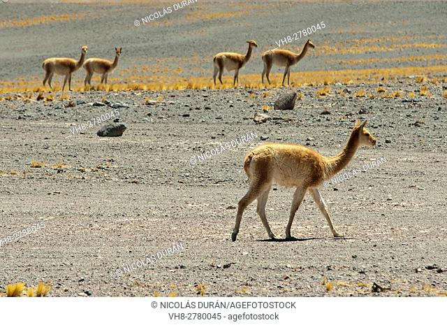 Guanaco (Lama guanicoe), Nevado Tres Cruces National Park, Region III of Atacama, Chile, South America