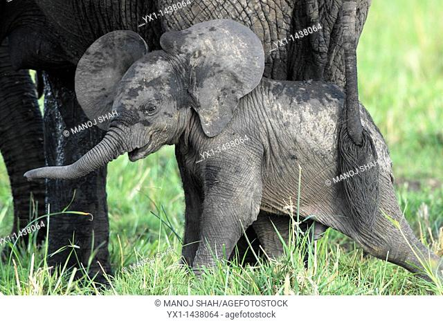 The baby elephant is always within about 50 meters of the mother, it goes where the mother goes. The bond between the two is extremely strong