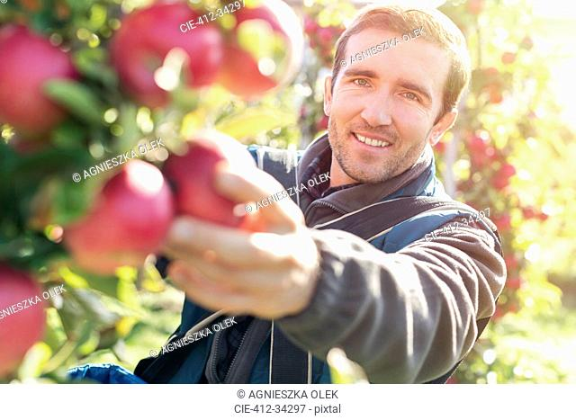 Portrait smiling male farmer harvesting ripe red apples in sunny orchard