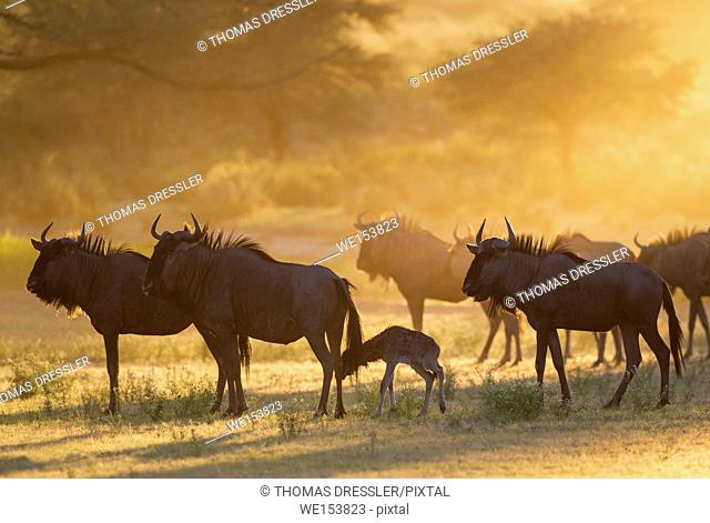 Blue Wildebeest (Connochaetes taurinus). Herd with newly born calf at sunrise. Kalahari Desert, Kgalagadi Transfrontier Park, South Africa