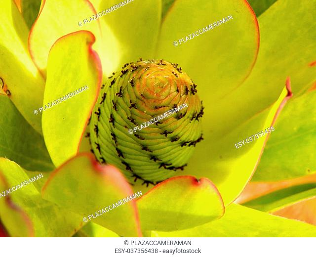 Close up of a Protea bud highlighting the spiral pattern