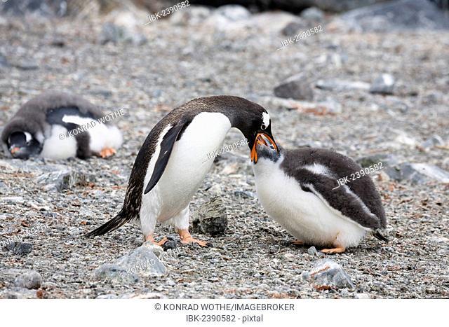 Gentoo Penguin (Pygoscelis papua), feeding its young, Antarctic Peninsula, Antarctica