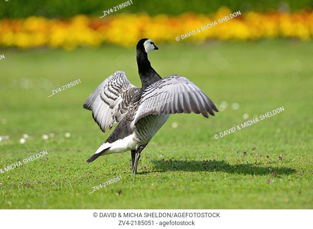 Close-up of a barnacle goose (Branta leucopsis) on a meadow in spring