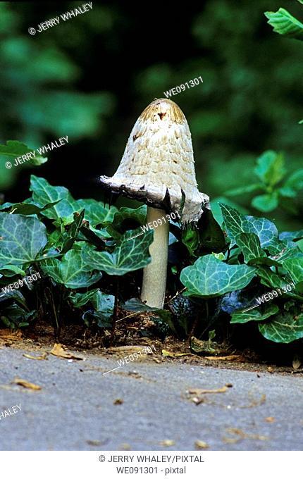 Mushroom & Ivy, East Tennessee