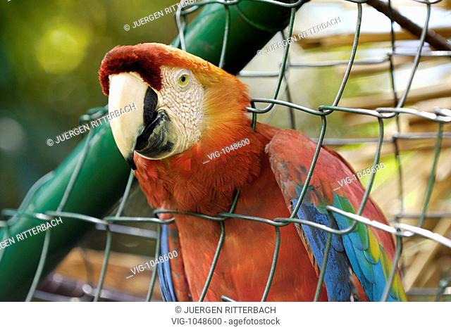 scarlet macaw in cage, ARA MACAO, CANAIMA, Venezuela, South America, America - CANAIMA, VENEZUELA, 10/03/2008