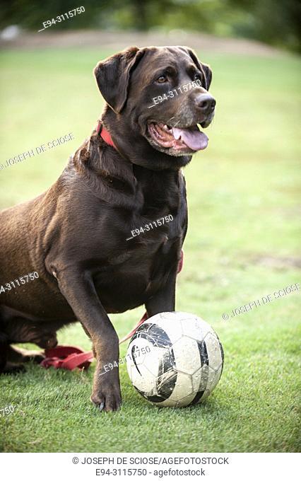 Portrait of a Labrador Retriever and his ball