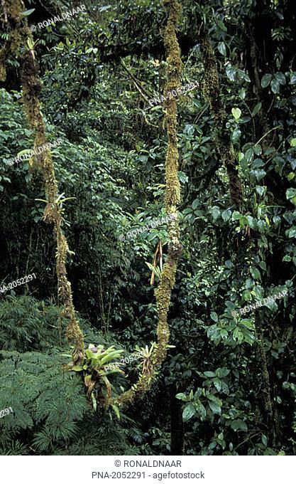 Vegetation in the Monteverde Cloud Forest, Costa Rica