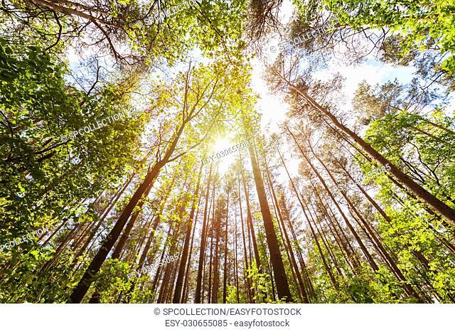 Forest in summer near Berlin (looking up)