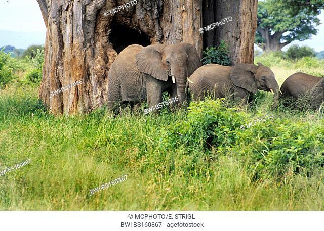 African elephant (Loxodonta africana), herd of elephants next to a giant baobab, Tanzania, Tarangire National Park