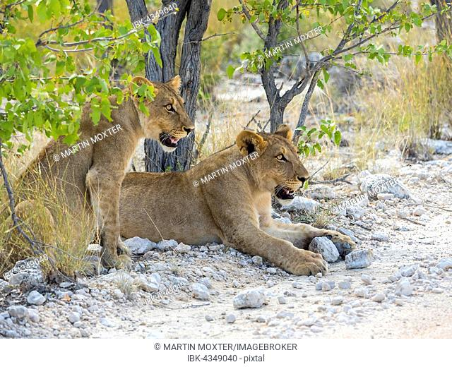 Young lionesses (Panthera leo) lying on roadside, Okaukuejo, Etosha National Park, Namibia