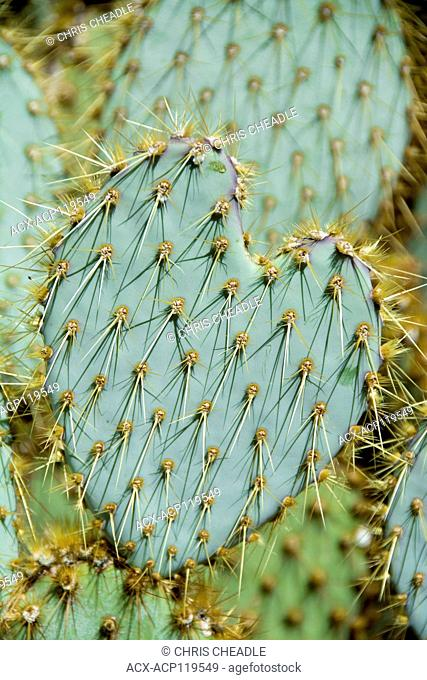 Prickly pear cactus, Opuntia, Joshua Tree National Park, California, USA