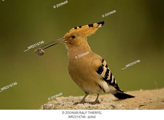 Hoopoe (Upupa epops) with beetle in its beak
