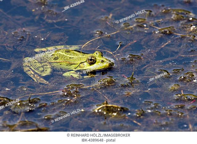 The edible frog (Rana esculenta), water plants, Burgenland, Austria