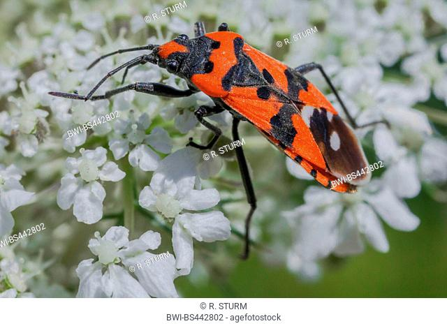 seed bug (Lygaeus equestris), sucking nectar, Germany, Bavaria