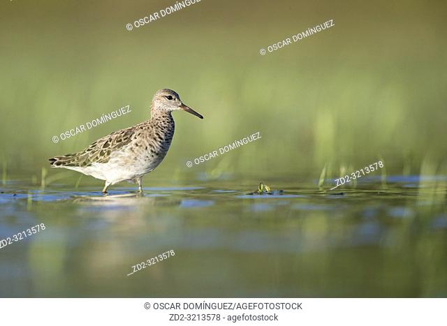 Ruff (Calidris pugnax) foraging in shallow water. Lubana Wetland Complex. Latvia