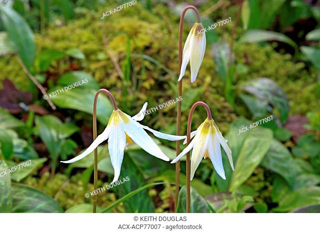 White Fawn lilies (Erythronium oregonum), Pipers Lagoon Park, Nanaimo, BC, Canada