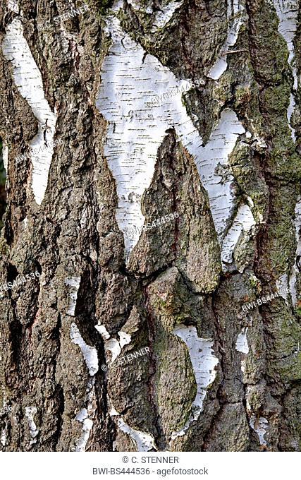 common birch, silver birch, European white birch, white birch (Betula pendula, Betula alba), bark of an old trunk, Germany, North Rhine-Westphalia