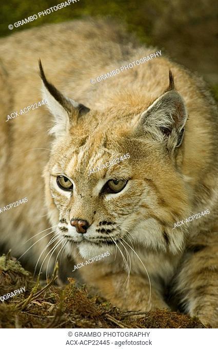 Bobcat Felis rufus, Montana, USA