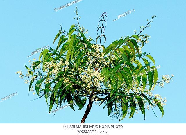 Medicinal Plant , Green Neem tree Melia Azadirachta Lin