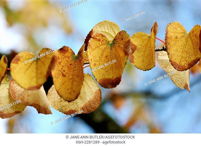 Cercidiphyllum Japonicum, Katsura leaves in Autumn, blue sky