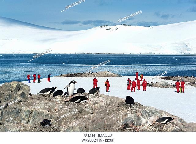 Group of people looking at a small colony of Gentoo Penguins sitting on a rock in the Antarctic