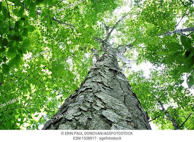 Yellow Birch Betula alleghaniensis in a old-growth, northern hardwood forest along the Saco River Trail during the summer months in Crawford Notch State Park of...