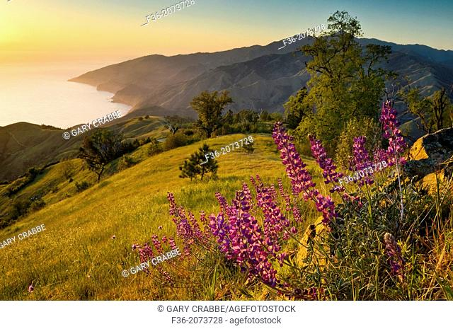 Spring Lupine wildflowers and green hills at sunset, Ventana Wilderness, Los Padres National Forest, Big Sur coast, California Spring Lupine wildflowers and...