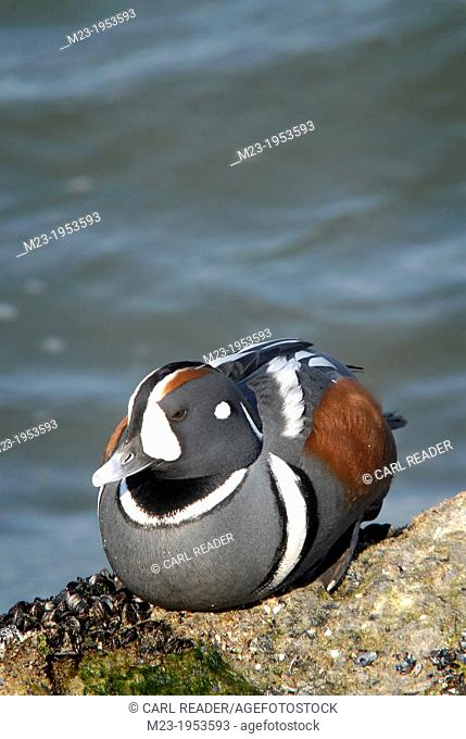 A harlequin duck, histrionicus histrionicus, basks in the sunlight on a rock, Barnegat Light, New Jersey, USA
