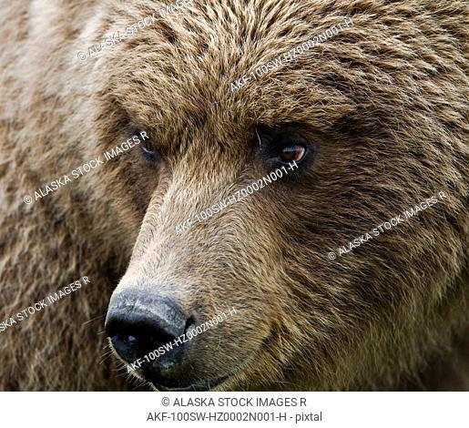 Close up portrait of a Brown bear in Hallo Bay, Katmai National Park, Southwest Alaska, Summer