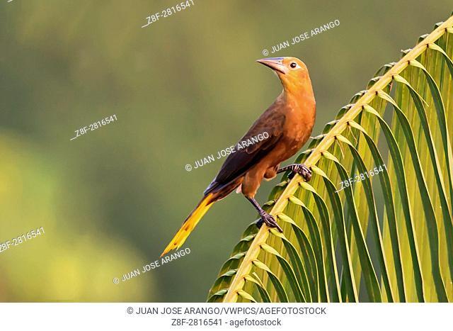 Russet-backed Oropendola (Psarocolius angustifrons), Reserva natural Palmari, Brazil