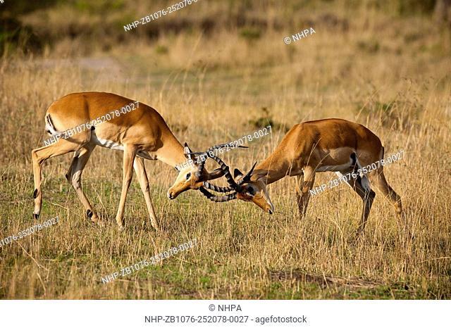 Male impalas fighting over harem; Aepycetos melampus, Masai Mara, Kenya. Kenya's Masai Mara National Reserve is an area of gentle rolling hills, woodland
