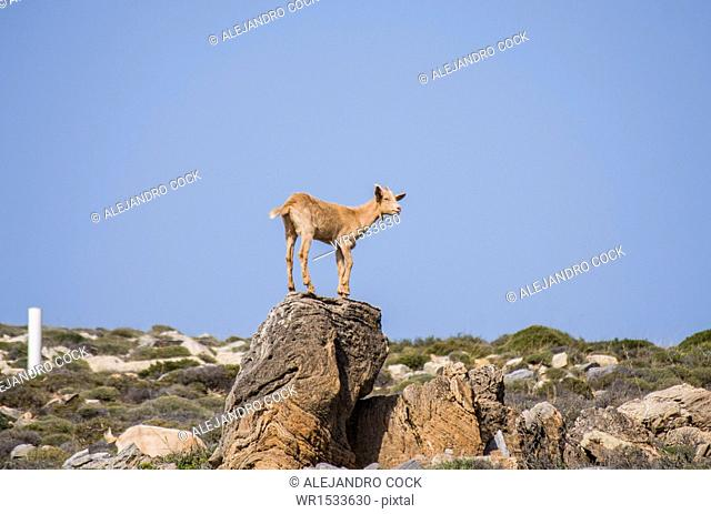 Goat in the Coast of Sifnos, Kastro, Islands of Ciclades, Greece, Western Europe