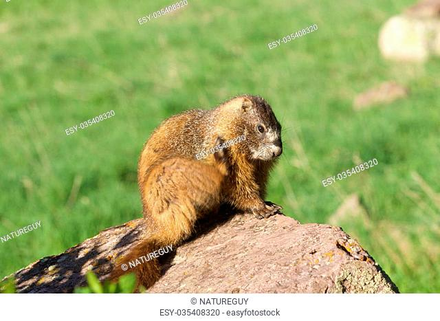 a yellow-bellied marmot scratching an itch