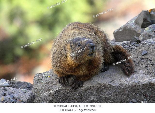 A yellow-bellied marmot poses at Yellowstone National Park, Wyoming