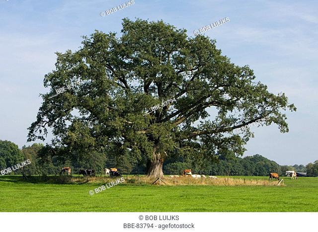 Giant oak of Vorden