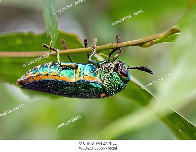 Thailand, Jewel beetle, Buprestidae