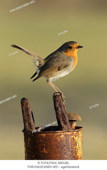 European Robin (Erithacus rubecula) adult, perched on rusted tools in old tin, West Yorkshire, England, March