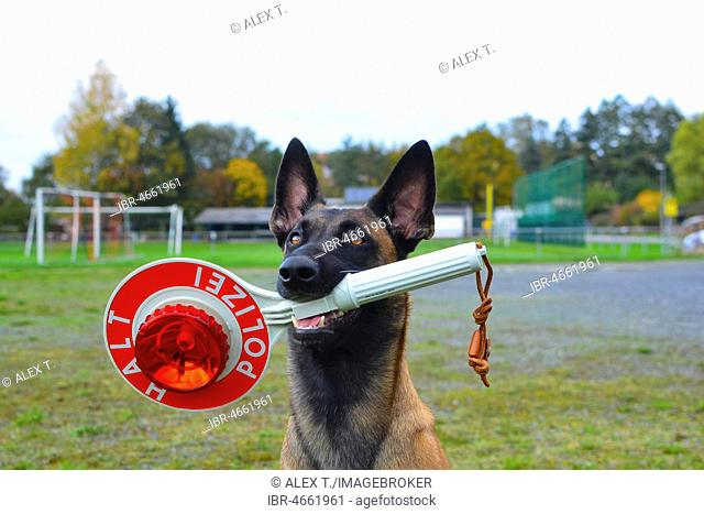 Police dog, Belgian shepherd dog, Malinois, with stopping trowel in the mouth, Hesse, Germany