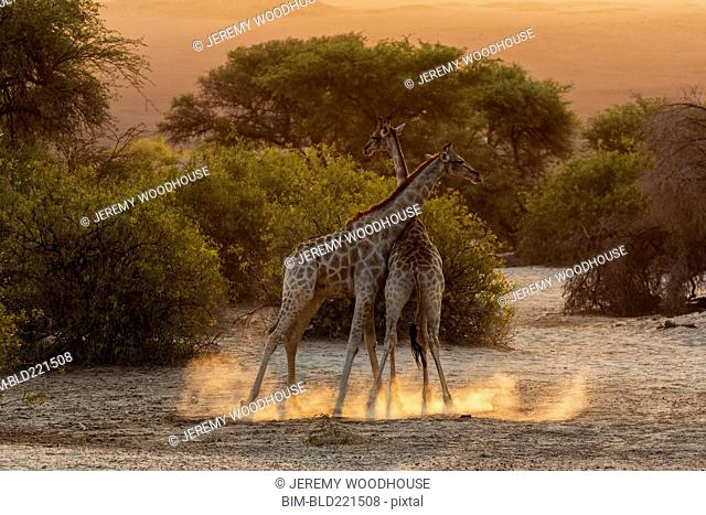 Giraffes fighting in savanna field