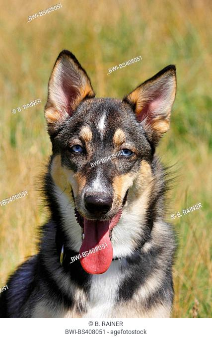 mixed breed dog (Canis lupus f. familiaris), one-year-old Malamute Podenco mixed breed bitch, Germany