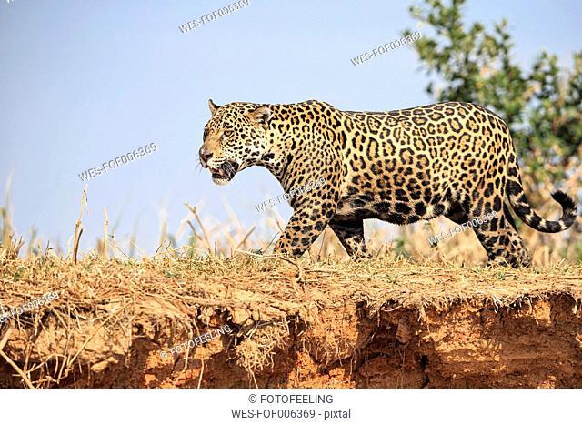 South America, Brasilia, Mato Grosso do Sul, Pantanal, Jaguar, Panthera onca