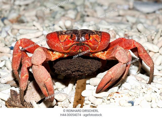 Christmas Island Red Crab with Eggs, Gecarcoidea natalis, Christmas Island, Australia
