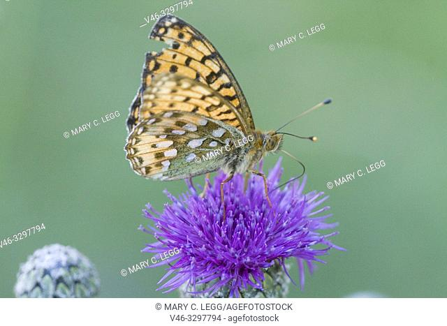 Dark Green Fritillary, Argynnis aglaja. A large checquered orange and black buttefly with olive green patches on the underwing with mother of pearl markings