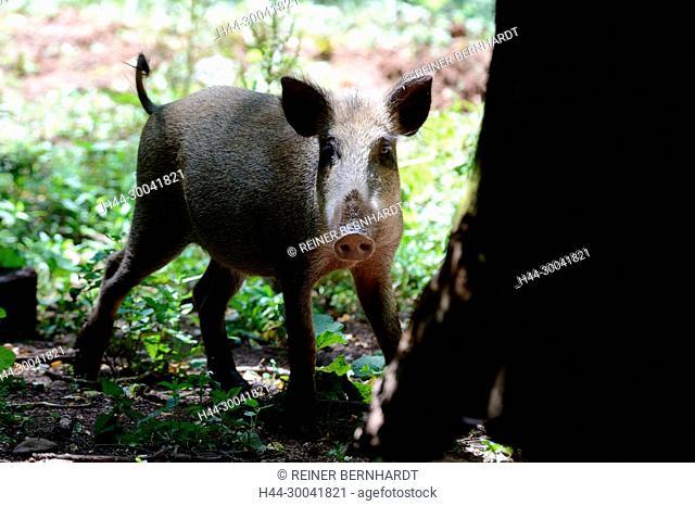 Pigs, real pigs, cloven-hoofed animals, sow, making a mess, black smock, black game, pig, pigs, Suckel, Sus scrofa scrofa, mammals, wild boar, wild boars