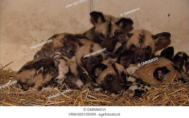 WS African Hunting Dog puppies / Port Lympne Wild Animal Park and Gardens, Hythe, Kent, UK