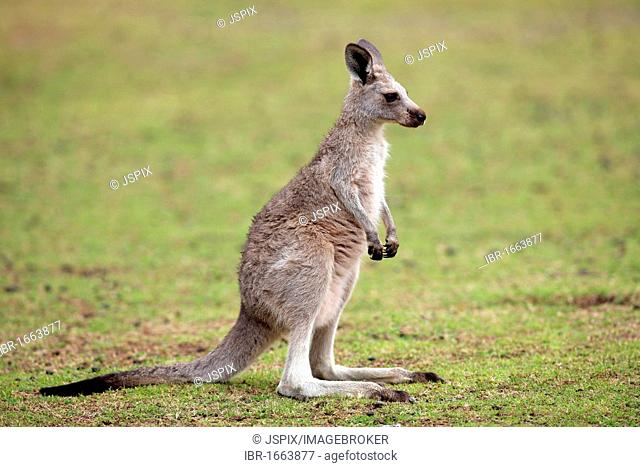 Eastern Grey Kangaroo (Macropus giganteus), female adult, Australia