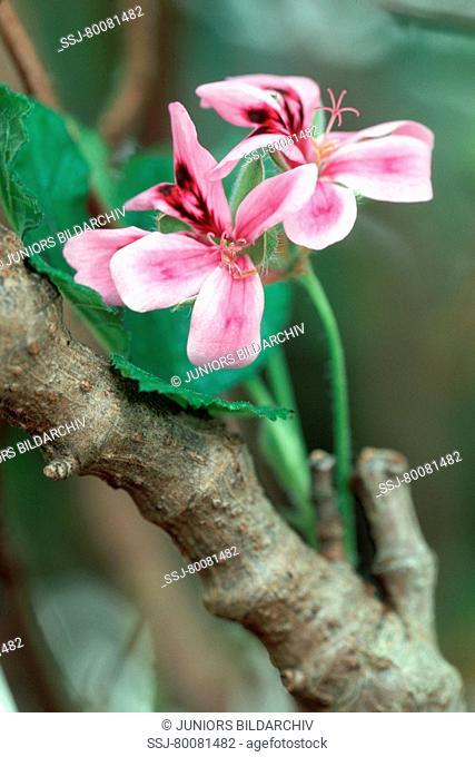 ZAF, 2003: Umckaloabo (Pelargonium reniforme, Pelargonium sinoides), flowers