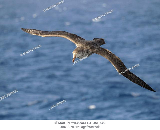 Northern Giant Petrel or Hall's Giant Petrel (Macronectes halli) soaring over the waves of the South Atlantic near South Georgia